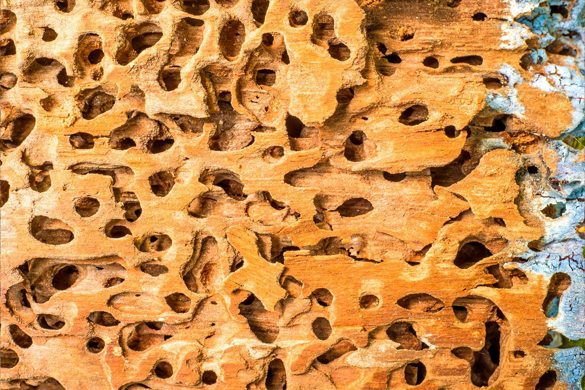 termite2